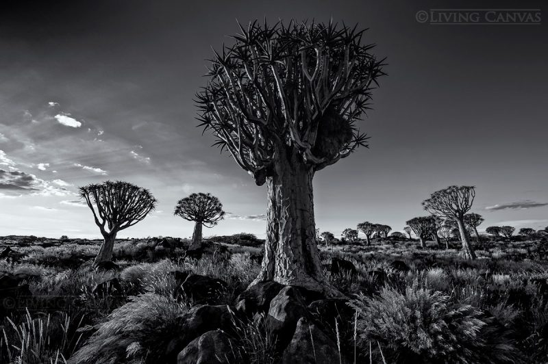 Quiver tree forest landscape black and white fine art canvas print