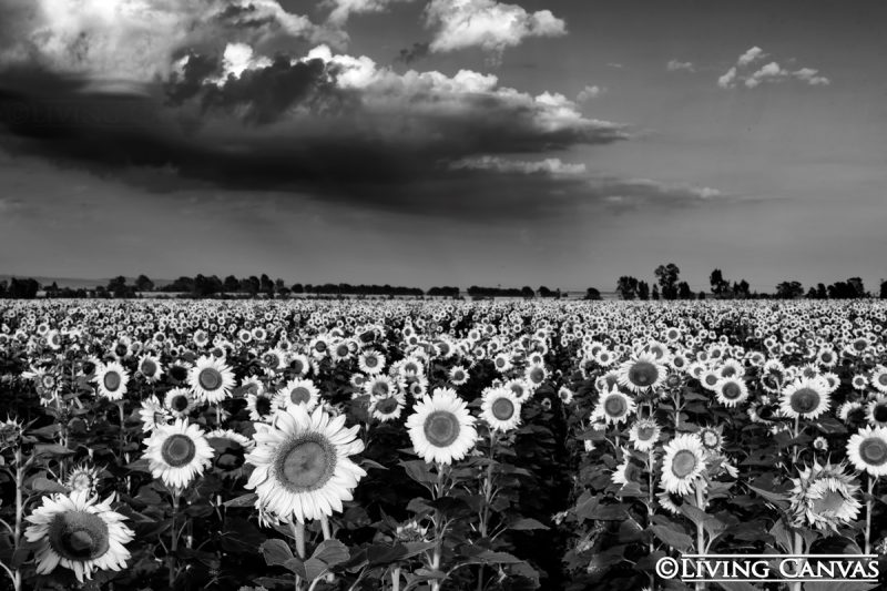 Black and white field of sunflowers fine art landscape canvas print