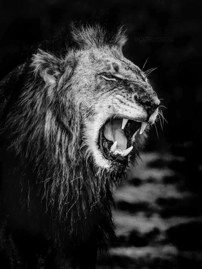 AFRICAN MALE LION PORTRAIT ANIMAL BLACK CANVAS PRINT WALL ART PICTURE PHOTO