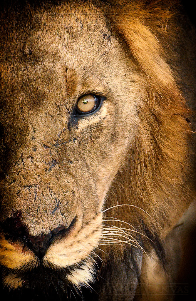 Lion Face Portrait | African Wildlife Wall Art Prints